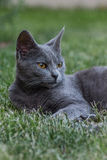 Grey cat. A grey cat relaxing on the grass Royalty Free Stock Image