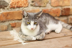 Grey cat resting Stock Images