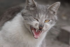 A grey cat , roaring, Royalty Free Stock Photo
