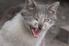 A grey cat , roaring, Royalty Free Stock Photo