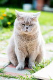 Grey Cat Scottish Breed sonnolenta Fotografie Stock Libere da Diritti