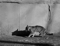 Grey cat with shadow goes near grey wall. Black and white photo. Sunny day. royalty free stock photos