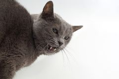 Grey cat shows aggressive fangs on a white background. The grey cat shows aggressive fangs on a white background Stock Photography