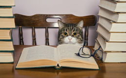 Grey cat sits at a table and watch the book Royalty Free Stock Photos