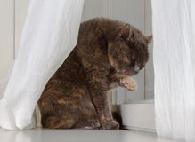 Grey cat sits on white background, licking dirty paw while hiding behind curtains Stock Photo