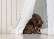 Grey cat sits on white background, licking dirty paw while hiding behind curtains Stock Image