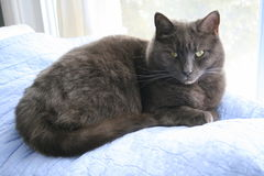 Grey cat sitting on a blanket. Grey cat sitting on a blue blanket Royalty Free Stock Photography
