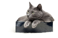 Grey cat sitting in the box Royalty Free Stock Photography