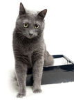 Grey cat sitting in the box with funny expression Stock Photography