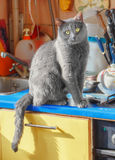 Grey cat sitting on kitchen Royalty Free Stock Images