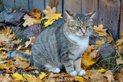 Grey cat sitting on maple leaves. In autumn stock images