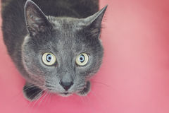 Grey cat sitting on pink background Royalty Free Stock Image