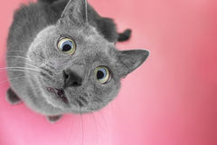 Grey cat sitting on the pink background Stock Photo