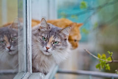 Grey cat sitting with severe look on the window sill Stock Photo
