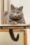 Grey cat sitting on stepladder Royalty Free Stock Images