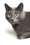 Grey cat sitting on white rug Stock Image
