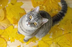 A grey cat sitting on the yellow leaves royalty free stock photo