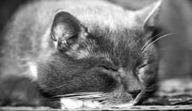 Grey cat, sleeping Stock Images