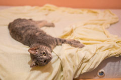 Grey cat sleeping and resting on the bed Royalty Free Stock Photo