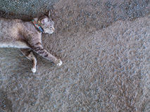 Grey Cat Sleeps like a Walke Royalty Free Stock Image