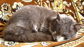 The grey cat sleeps on a sofa Royalty Free Stock Image