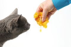 Grey cat smells the honey which flows from the hand of man. The grey cat smells the honey which flows from the hand of man Royalty Free Stock Image