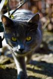 Grey cat with snake eyes. Wild grey cat with yellow snake eyes royalty free stock photography