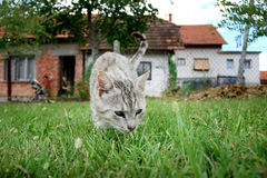 Grey cat sneaking in grass Royalty Free Stock Image
