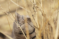 Grey cat sniffs grass outdoors Royalty Free Stock Images