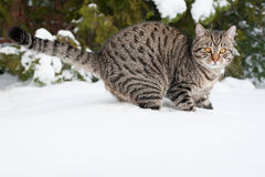 Grey cat on the snow Royalty Free Stock Photos