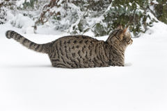 Grey cat on the snow Stock Images