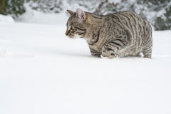 Grey cat on the snow Royalty Free Stock Photo