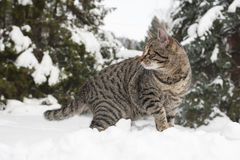 Grey cat on the snow Stock Photos