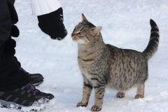 GREY CAT ON THE SNOW. Domestic cat on white snow in winter Royalty Free Stock Photography