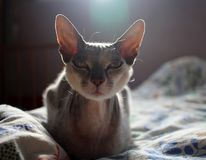 Grey cat Sphinx Shorthair looks straight with royalty free stock photo