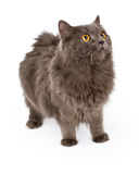 Grey Cat Standing macia a tomar partido Foto de Stock Royalty Free