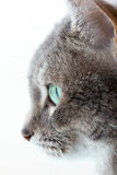 Grey cat staring stock photo