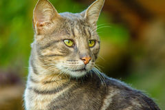 Grey Cat starring. Grey cat in grass starring at another cat Royalty Free Stock Photo
