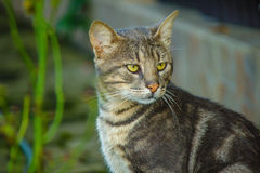 Grey Cat starring. Grey cat in grass starring at another cat Royalty Free Stock Images