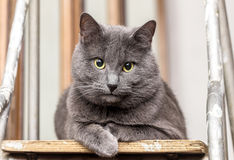 Grey cat on stepladder Royalty Free Stock Images