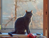 Grey cat on sunny window royalty free stock images