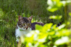Grey Cat sur le portrait d'herbe Photo stock