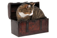 Grey cat in treasure chest Royalty Free Stock Images
