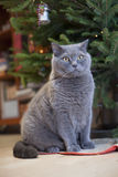 Grey cat under new year tree Stock Image