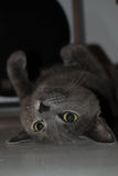 Grey cat upside down Stock Images