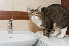 Grey cat and wash basin Royalty Free Stock Photography