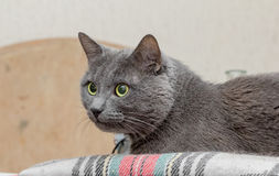 Grey cat with watchful eye Royalty Free Stock Image