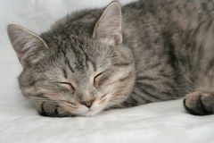 The grey cat which sleeps. On a white background Royalty Free Stock Images