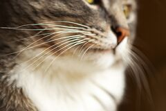 Free Grey Cat Whiskers Stock Image - 180911031