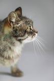 Grey cat on white background stock image